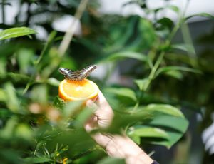 A photo of a butterfly landing on an orange, being held out by a person's hand