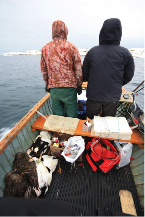 Hunters return to home with eider ducks after a day of spring hunting. Samples are taken from the birds to study parasites and contaminants, and then the Hunter and Trapper Association distributes the meat among the community.