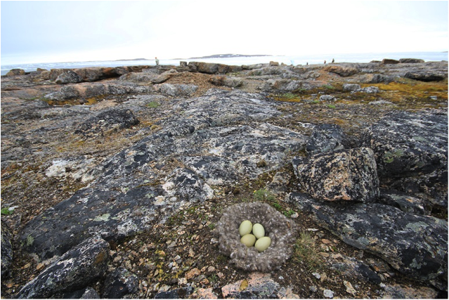 An eider nest is surveyed near Cape Dorset by a team of hunters and researchers from Environment Canada and Carleton University studying the effects of disease and predation on nesting birds.