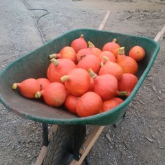 A green wheelbarrow full of orange gourds.