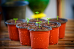 Sprouts grow out of small red pots.