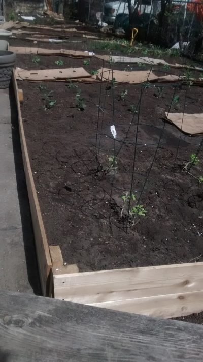 Baby tomatoes begin to grow in an outdoor community garden.