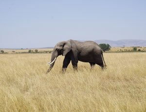 An elephant alone in the brush.