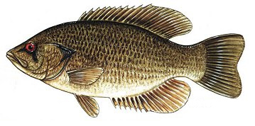 Contested histories of the ottawa river a summary of the for Rock bass fish