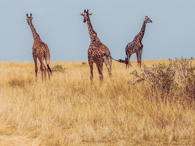 Photo for the news post: Dancing with Giraffes