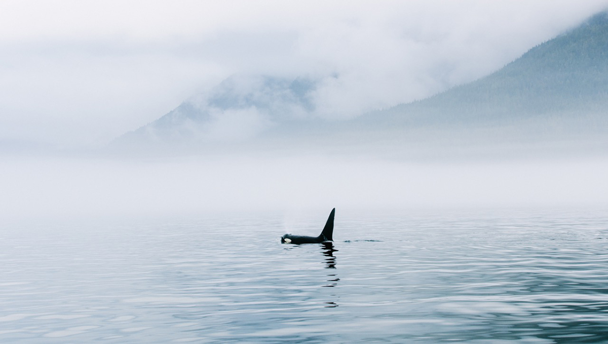 British Columbia killer whales.