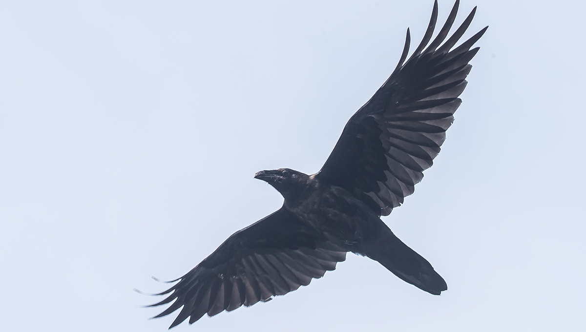 A raven flying