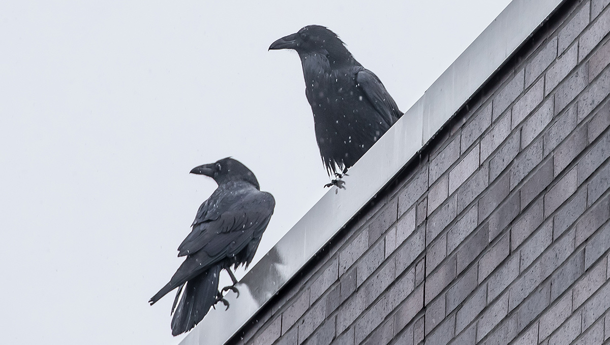 Ravens sitting on the ledge of a building roof.