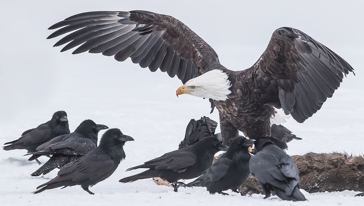 Ravens and an eagle eating a deer in winter.