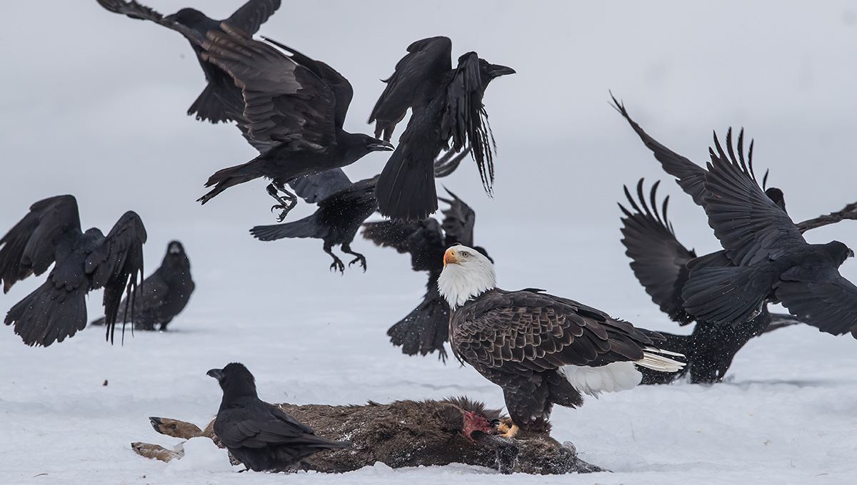 Ravens and an eagle eating a deer during winter.