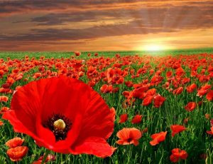 View Quicklink: Why Poppies?