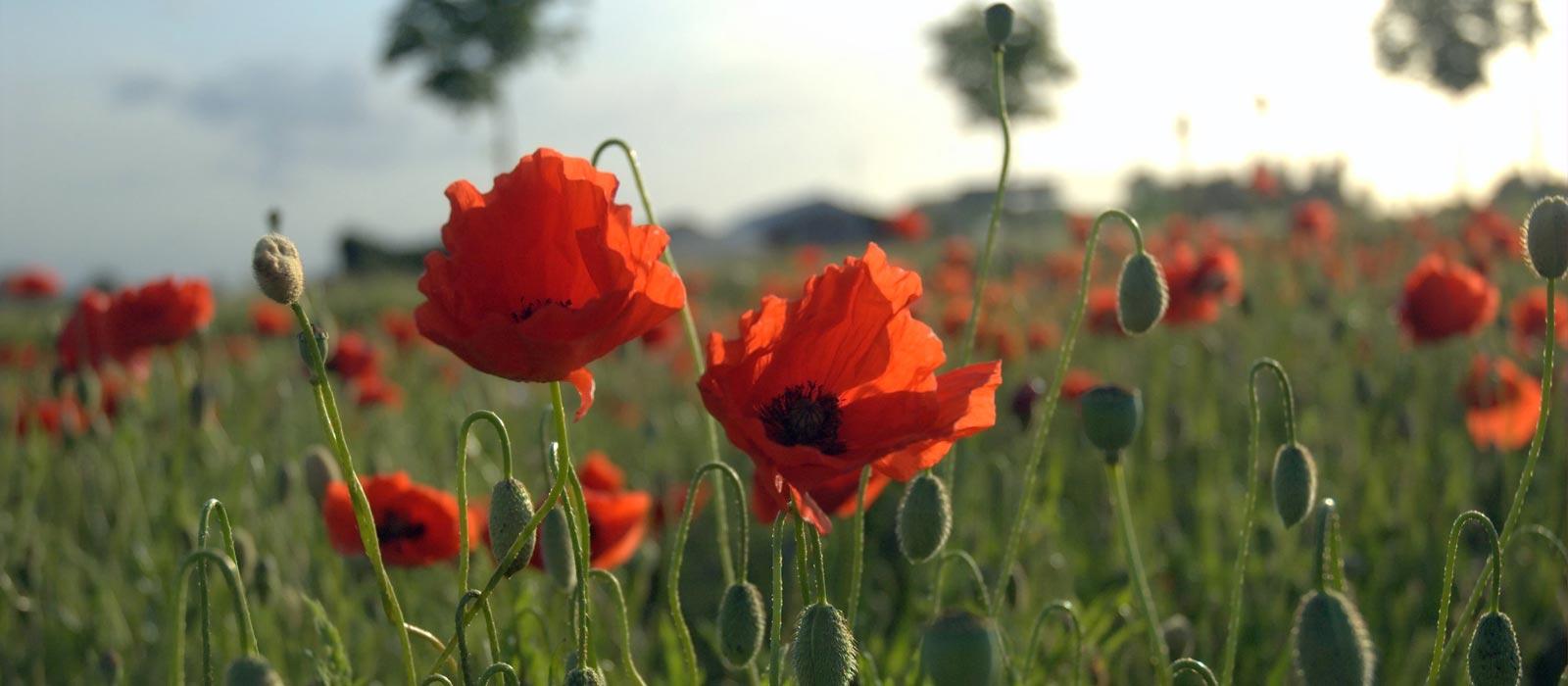 Banner image for Why Poppies?