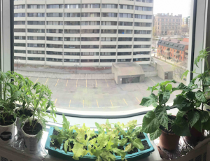 Many tomato plants and lettuce on a window ledge. Beyond the window are an empty parking lot and apartment building.